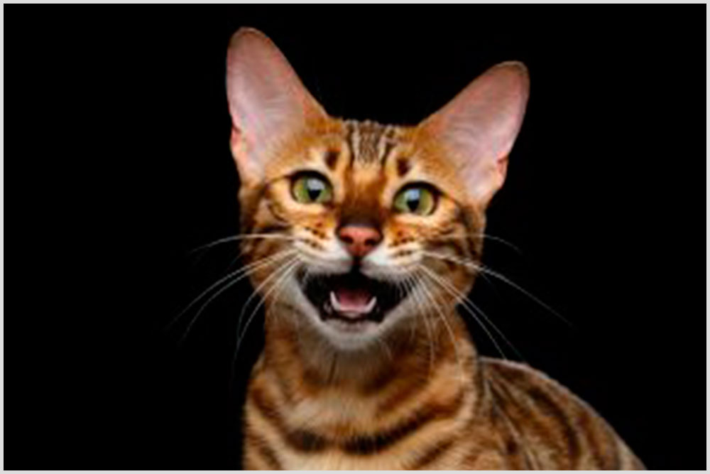 Cat Language Bible Review – Does It Book Work Or Scam?